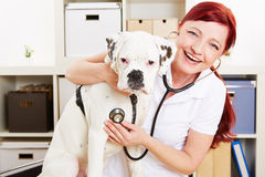 Happy veterinarian auscultating Royalty Free Stock Image