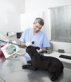 Happy Veterinarian Examining French Bulldog With Otoscope Royalty Free Stock Images