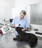 Happy Veterinarian Examining French Bulldog With Otoscope. Happy male veterinarian examining French Bulldog with otoscope in clinic Royalty Free Stock Images