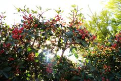 Sun Shining Through Summer Foliage with Berries royalty free stock photography