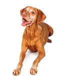 Happy Vizsla Dog Laying. A happy Vizsla breed dog laying and looking up with her mouth open in a smile Stock Image