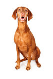 Happy Vizsla Dog Sitting Royalty Free Stock Photography