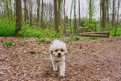 Happy walking maltese shih tzu mixed dog. Happy and smiling maltese shih tzu mixed dog in the park Royalty Free Stock Photo