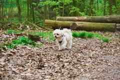 Happy walking maltese shih tzu mixed dog stock image