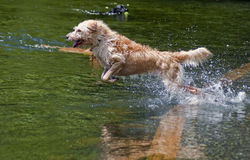 Happy Water Dog. Wired haired mixed breed jumping into the water at a dog park. Dogs having fun playing in the river on a beautiful summer day Stock Photography