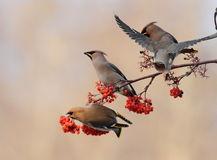 Happy Waxwings. On top of the tree with red fruits Stock Image