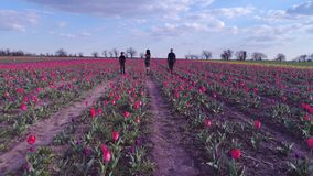 Happy weekend, drone view of family of three walking between rows of blooming tulips on background blue sky. Happy weekend, drone view of family of three walking stock video
