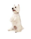 Happy West Highland Terrier Dog Begging. A very happy West Highland Terrier Dog begging with open mouth royalty free stock photos