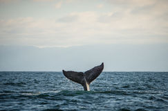 Happy whale tail. A happy humpback whale splashes his tail royalty free stock image