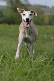 Happy Whippet Royalty Free Stock Photo