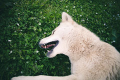 Happy white Dog laying in grass outdoor Summer Stock Photo