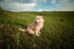 Happy white dog in the nature shows the tongue. funny dog in the nature stock photo