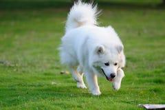 Happy white dog running royalty free stock photography