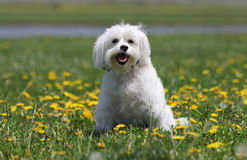 A happy white dog. A happy white dog smiles at the camera after running in the park through the dandelions stock photo