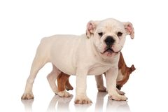 Little english bulldog puppy smelling something behind its broth. Happy white english bulldog standing in fron of its brother while it smells something on white Stock Images