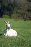 Happy white goat capra hircus relaxing in grass in sun Royalty Free Stock Photos
