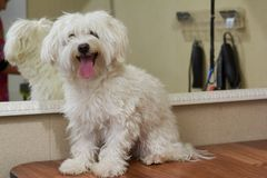 Happy white maltese. Cute dog, tongue sticking out. Friendly and smart animal Royalty Free Stock Photography