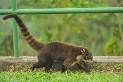 Happy white-nosed Coati walks near railing Stock Photo