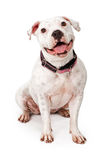 Happy White Pit Bull Dog Royalty Free Stock Photo
