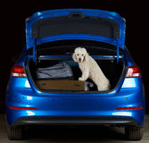 Happy white poodle in car trunk Stock Photo