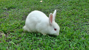 Happy white rabbit eating green grass Stock Photo
