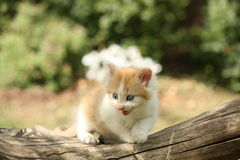 Happy white red kitten resting on the stump Royalty Free Stock Photo