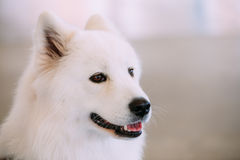 Happy White Samoyed Bjelkier Dog Royalty Free Stock Photo