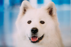 Happy White Samoyed Bjelkier Dog Royalty Free Stock Photography
