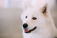 Happy White Samoyed Bjelkier Dog Stock Image
