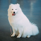 Happy White Samoyed Bjelkier Dog Sitting On Floor Royalty Free Stock Images