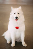 Happy White Samoyed Bjelkier Dog Sitting On Floor Royalty Free Stock Photography