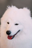 Happy White Samoyed Dog Close Up Portrait Royalty Free Stock Photography