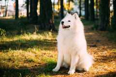 Happy White Samoyed Dog Outdoor in Forest Royalty Free Stock Photography