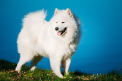 Happy White Samoyed Dog Outdoor in park on Royalty Free Stock Images