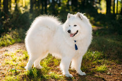 Happy White Samoyed Dog Outdoor in Park Royalty Free Stock Image
