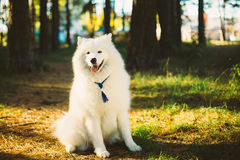 Happy White Samoyed Dog Outdoor in Park Stock Photos