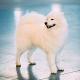 Happy White Samoyed Dog Puppy Whelp Standing on Royalty Free Stock Images