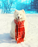 Happy white Samoyed dog with red scarf on snow in winter Royalty Free Stock Photos
