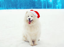 Happy white Samoyed dog wearing a red santa hat on snow in winter Stock Image