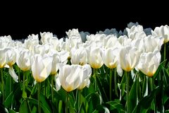 Sunny spring day backlit white tulips on black background royalty free stock photography