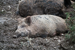 Happy wild board sleeping in brown dirt Stock Photo
