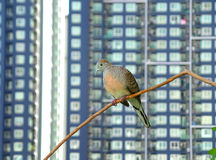 Happy Wild Zebra Doves Relaxing on Tree Branch amongst High Buildings Royalty Free Stock Photography