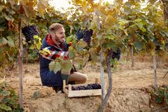 Happy wine maker picking black grapes on vineyard royalty free stock photography