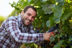 Happy winemaker harvesting grapes Royalty Free Stock Photo