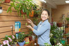 Happy  woman chooses Nepenthes plant Royalty Free Stock Images