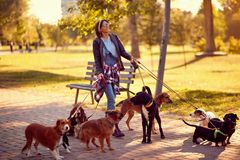 Happy woman dog walker with dogs enjoying in funny walking. Outdoors stock image