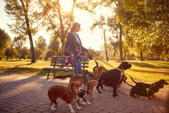 Happy woman dog walker with dogs enjoying in walk. Outdoors stock photos