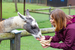 Happy woman feeding big lama on an animal farm Royalty Free Stock Photo