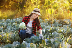 Happy woman gardener with cabbage. Happy young woman gardener with cabbage in garden with sunshine. Young farmer harvesting cabbage. Gardening, agriculture Royalty Free Stock Photography