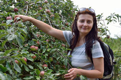 Happy woman picking apples in the garden Royalty Free Stock Photography